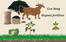 cow dung organic fertilizer