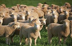 sheep manure organic fertilizer production technology